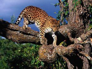 Leopard on a tree branch