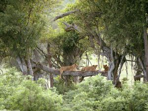 Lionesses uploaded to a tree
