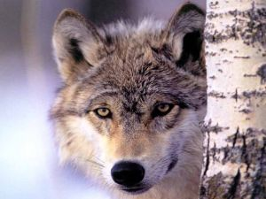 A wolf watching you