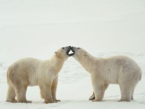 Polar bears clasping mouths