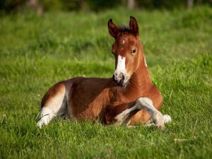 A foal lying in the grass