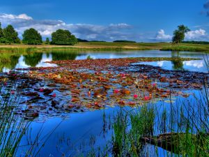 A lake covered with water lilies