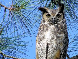 Owl on the branch of a pine