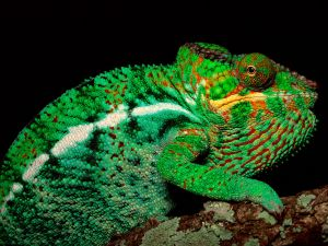 Chameleon with green tones