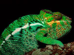 Chameleon with green tones