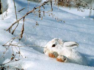 White rabbit in the snow