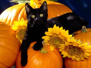 Black cat over pumpkins and sunflowers