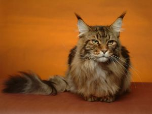 "Cat of breed ""Maine Coon"" (or Mancoon)"