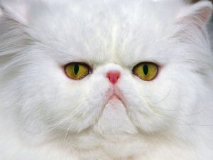 Persian breed cat