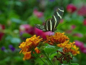 Butterfly with white striped