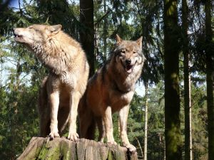 Pair of wolves