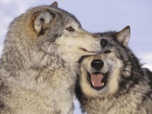 Love between wolves