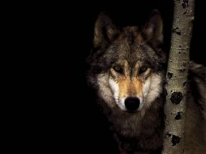 Wolf next to a tree in the dark