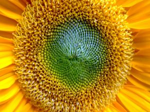 The center of a sunflower