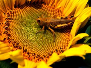 Grasshopper on a sunflower