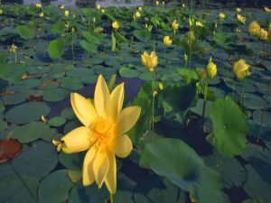 Aquatic plants with yellow flowers