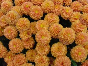 Yellow chrysanths (Chrysanthemum)