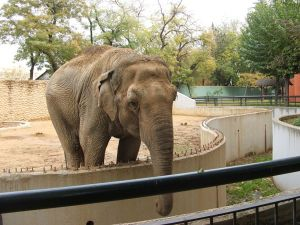 Asian elephant in a zoo