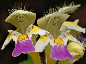 "Flower of ""Galeopsis speciosa"""