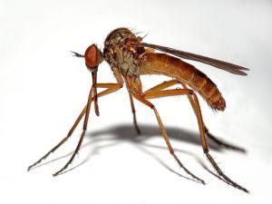 Male mosquito (Empis livida)