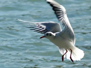 Seagull at water level