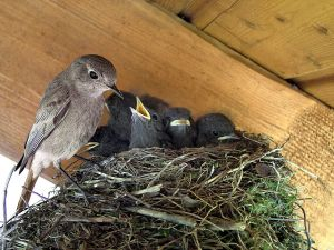 Black Redstart (Phoenicurus ochruros) feeding their chicks