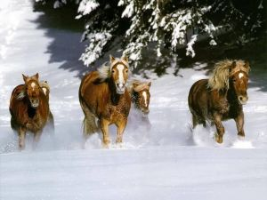 Wild horses galloping through the snow
