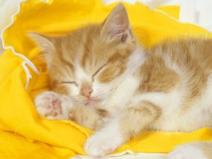 Blonde hair kitten asleep