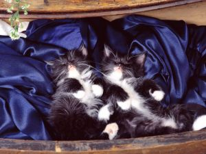 Kittens sleeping on blue velvet