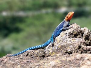 Fire Lizard (Agama agama), in Lake Nakuru National Park, Kenya
