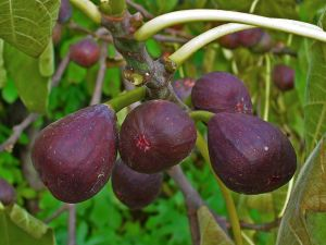 Ripe figs on the branch