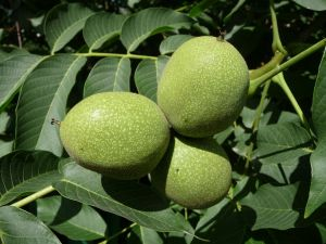 Green fruits of common walnut