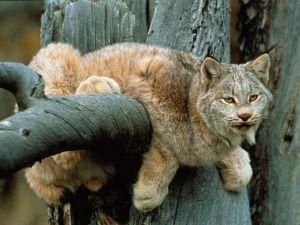 Lynx climbed a tree