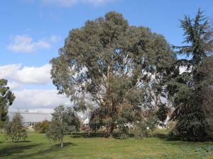 Bogong gum (Eucalyptus chapmaniana)