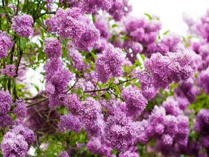 Branches with lilacs