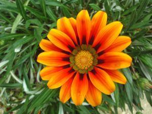 Daisy with orange petals