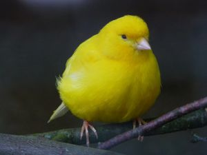A beautiful yellow canary