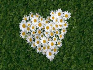 Heart of white daisies