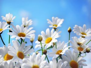 White daisies and a blue sky