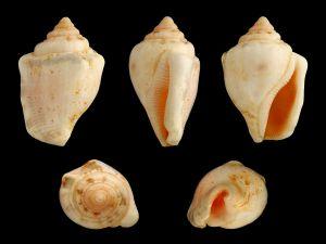 Shells of Canarium ochroglottis (Strombidae)