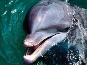Dolphin poking his head above water