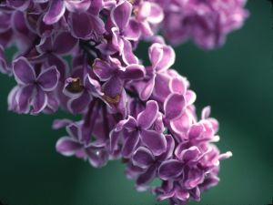 Small lilac flowers