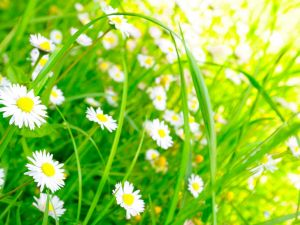 Green field with white daisies