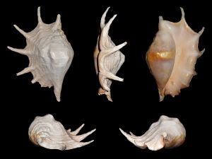 Gastropod shells of the species Lambis truncata, abundant on the coast of Mozambique