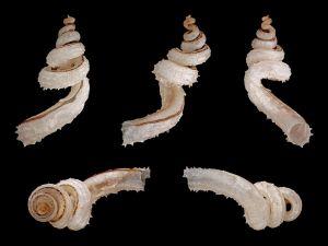Squamous snails, originating of Philippines