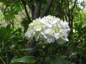 A lone white hydrangea