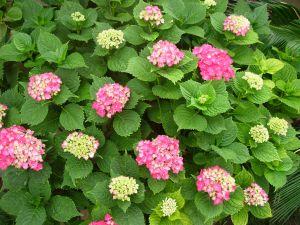 Flowering of hydrangeas