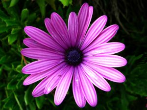 Large daisy lilac color