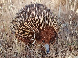 A short-beaked echidna (Tachyglossus aculeatus)