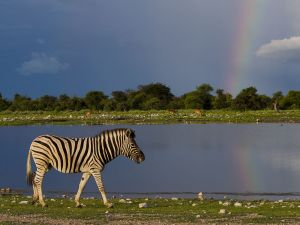Zebra at Klein Namutoni with the rainbow in background